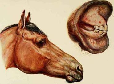 سیاه زخم در اسب