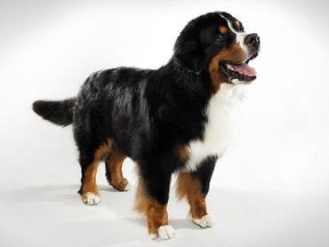 سگ برنس مانتن