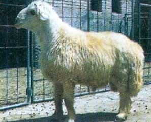 گوسفند لری بختیاری