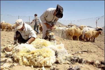 نژاد گوسفند لری بختیاری