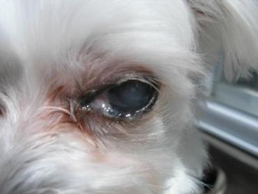 آبریزش چشم سگ