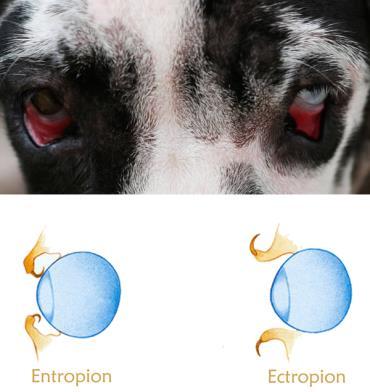 انتروپیون و اکتروپیون در سگ