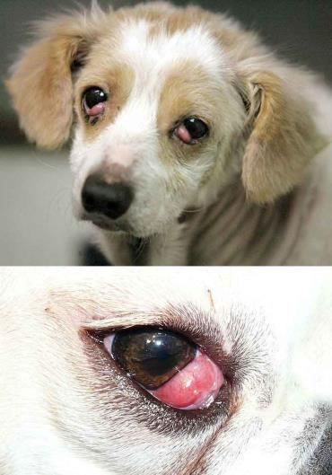 چشم گیلاسی در سگ