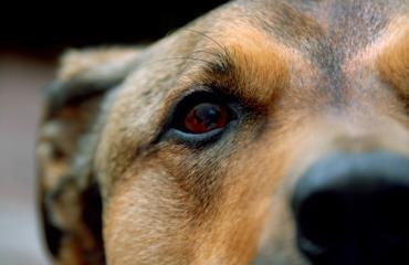 التهاب چشم سگ