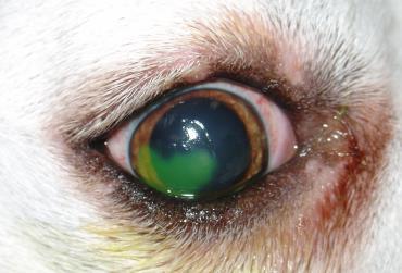 زخم قرنیه در سگ