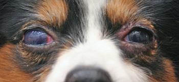 گلوکوم در سگ