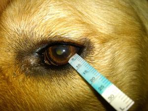 خشکی چشم در سگ