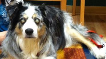 آتروفی پیشرونده شبکیه سگ