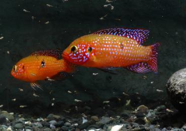 ماهی سیکلید جوئل
