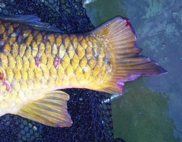 پوسیدگی باله ماهی