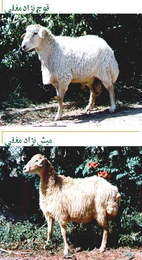 گوسفند مغانی