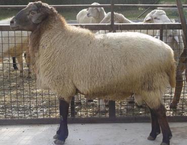 گوسفند نژاد مغانی
