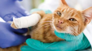 شکستگی استخوان گربه