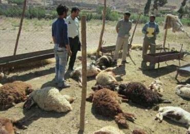 حمله پلنگ به گوسفندان