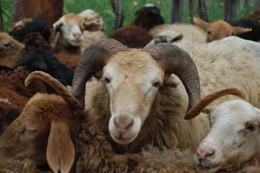 انواع گونههای گوسفند ایرانی