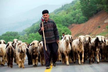 نژادهای گوسفند ایرانی
