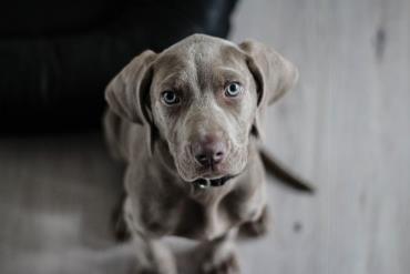 سگ وایمارینر
