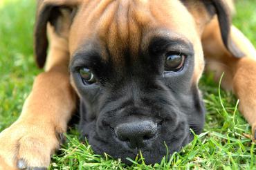 سگ باکسر
