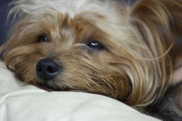 سگ تریر یورکشایر