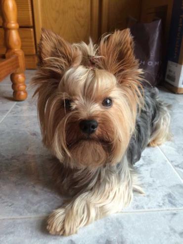 سگ نژاد تریر یورکشایر