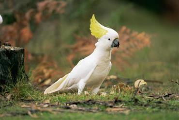 کاکاتو (طوطی کاکل سفید)