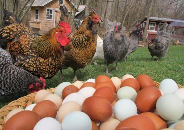 مرغ و تخم مرغ محلی