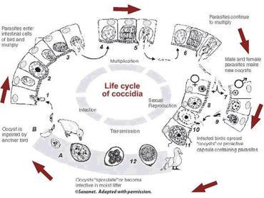 چرخه انتقال کوکسیدیا
