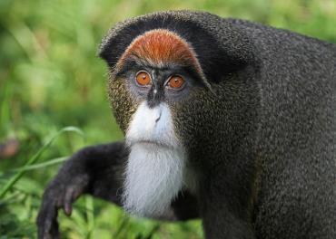 میمون دی برازا