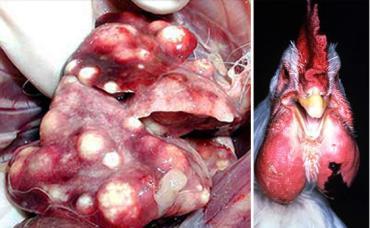 بیماری پاستورلوز