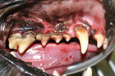 التهاب لثه و بیماریهای دندان در سگ
