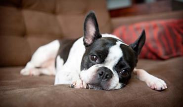 سگ نژاد بوستن تریر