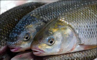 آشنایی با ماهی سفید دریای خزر