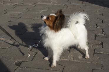 سگ پاپیلون