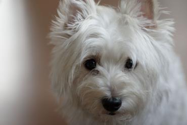 سگ نژاد تریر سفید