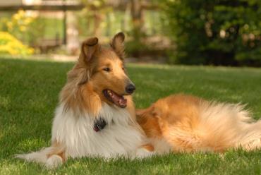 سگ کولی