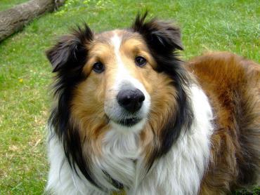 سگ نژاد کولی