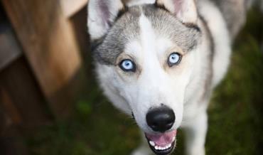 سگ سیبرین هاسکی