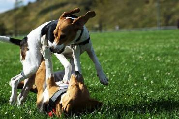 سگ نژاد بیگل