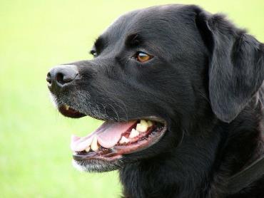 سگ لابرادور رتریور
