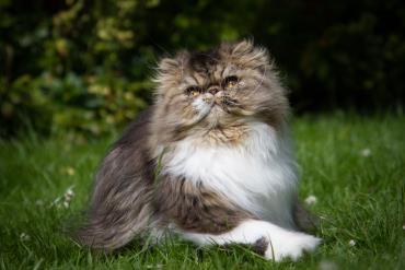 گربه نژاد پرشین