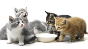 تغذیه نوزاد گربه