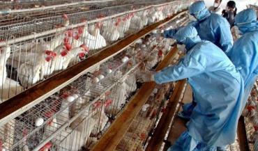 اختصاص 20میلیار تومان به سازمان دامپزشکی بابت پرداخت خسارات آنفلوانزای فوق حاد پرندگان