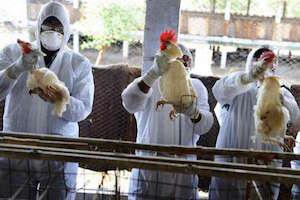 مرگ در چین بر اثر آنفلوانزای پرندگان