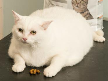 گربه چاق