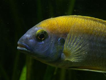 انگل لکه سفید در ماهی