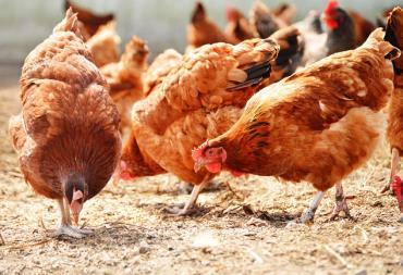 ناهنجاری پا در مرغ گوشتی
