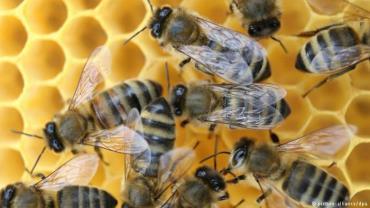 موم ضدباکتری زنبور عسل