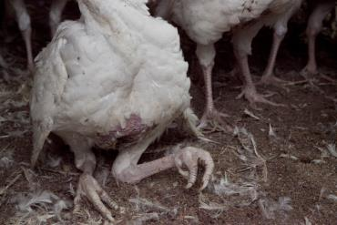 عوامل تغذیه ای موثر بر مشکلات حرکتی در پرندگان