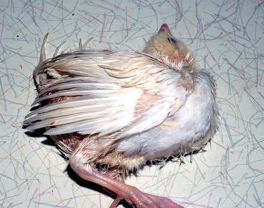 مشکلات حرکتی در پرندگان