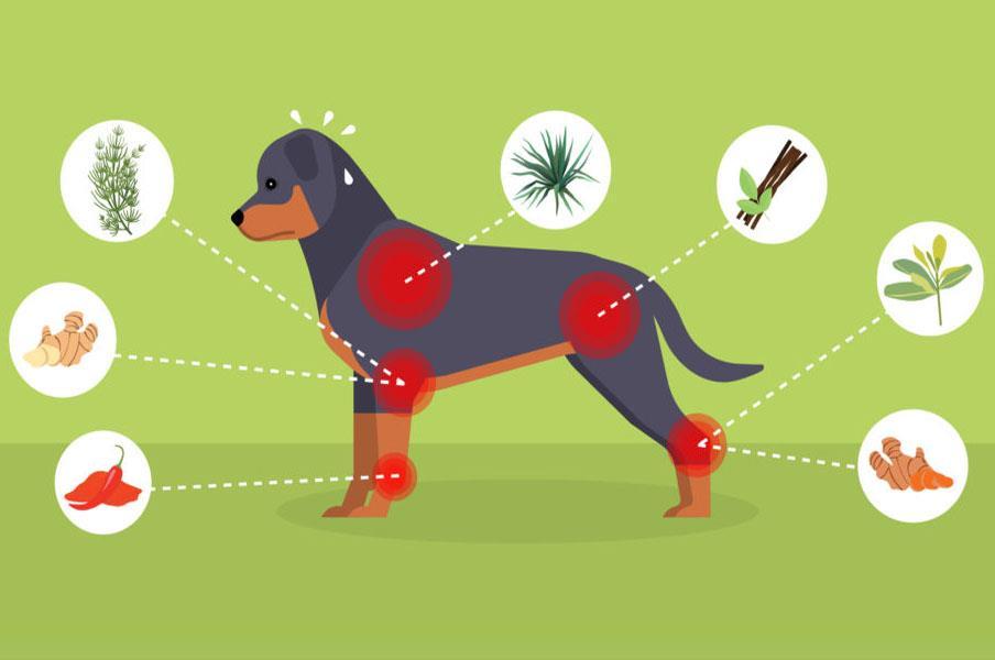 تسکین درد در سگ با داروی گیاهی